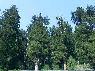 二荒山神社-杉2