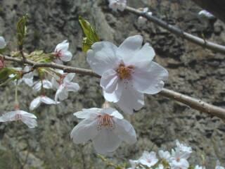布引貯水池の桜