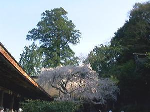吉野水分神社境内の桜1