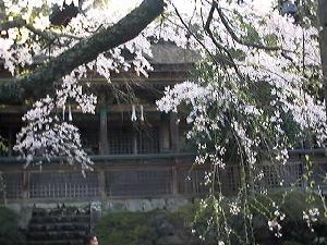 吉野水分神社境内の桜2
