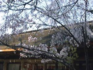 吉野水分神社境内の桜3